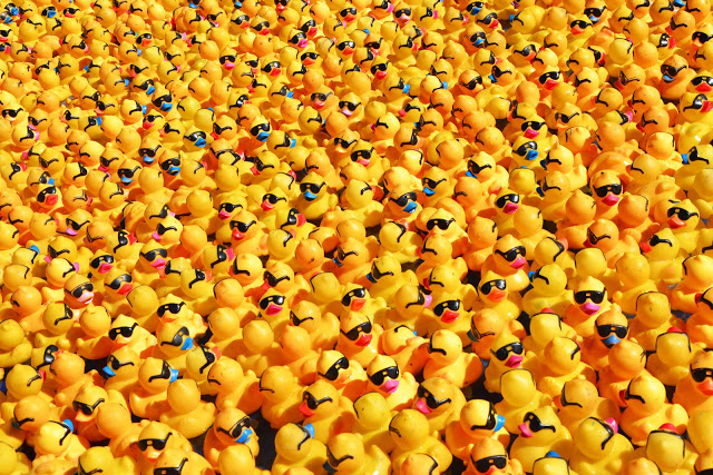 hundreds of ducks