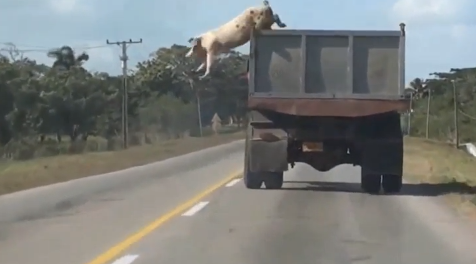 Pig Jumps From Moving Truck