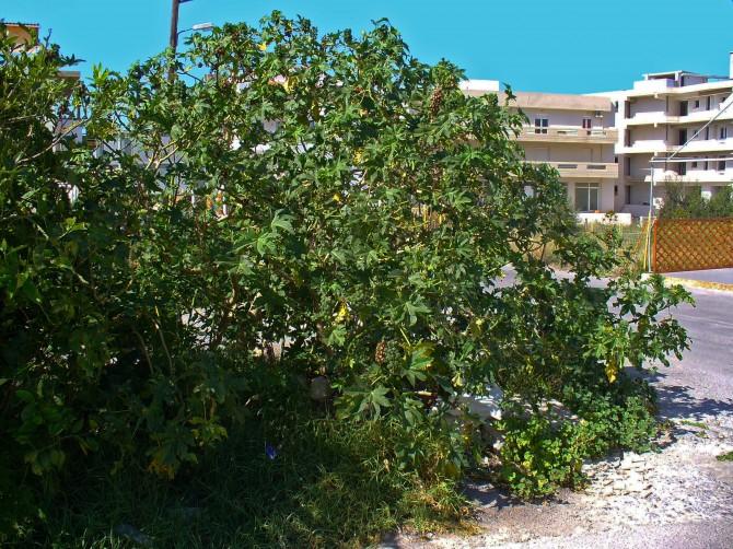 Poisonous Plants Castor Oil Plant (Ricinus communis)