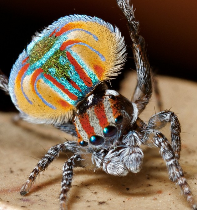 Weird Spiders - [peacock Spider - maratus volans