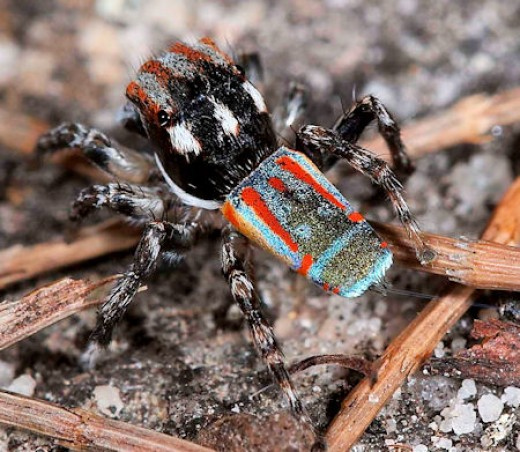 Weird Spiders - peacock Spider - maratus volans