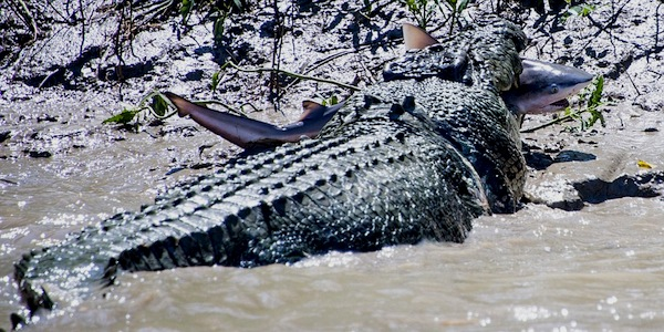 Crocodile Kills Shark 2