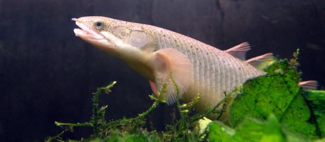 Dinosaur eel - photo#41