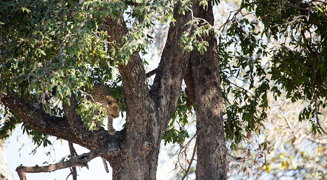 Leopard Jumps From Tree On Impala