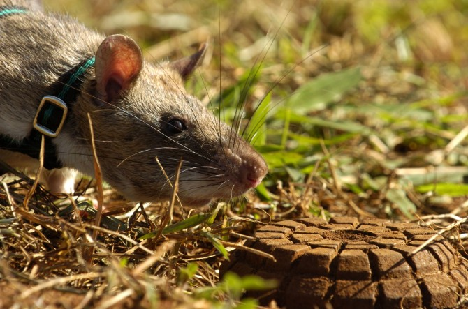 Mozambique - Hero Rats Sniff Out Mines