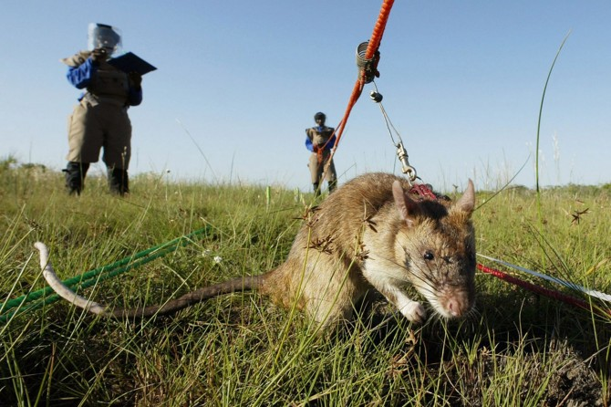 Mozambique - Hero Rats Sniff Out Mines - safety
