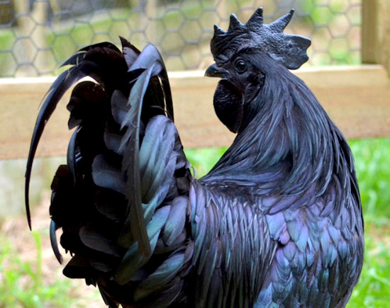 This Rare Black Chicken Costs 2500 And Apparently Tastes
