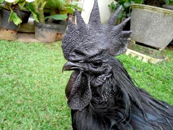 Rare Black Chicken 4