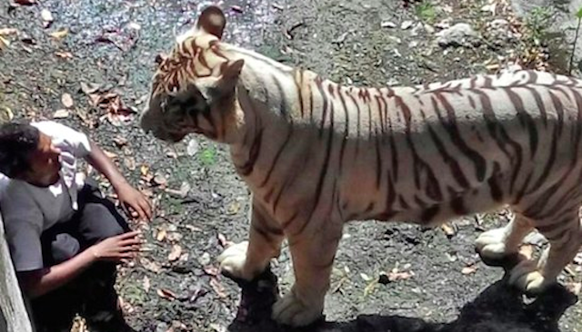 Tiger Mauls Drunk Man