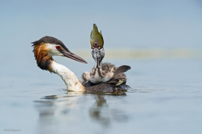 Wildlife Photographer Of The Year - 'Too Big But So Tasty' by Alain Ghignone
