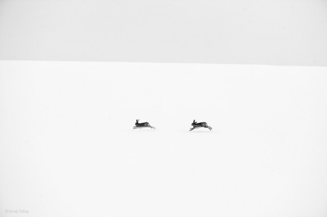 Wildlife Photographer Of The Year - 'Winter Hares' by David Tipling
