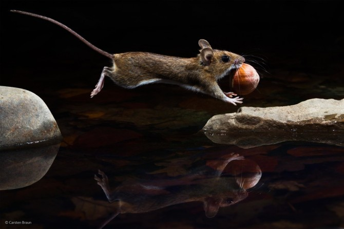 Wildlife Photographer Of The Year - 'Yellow-Necked Mouse' by Carsten Braun