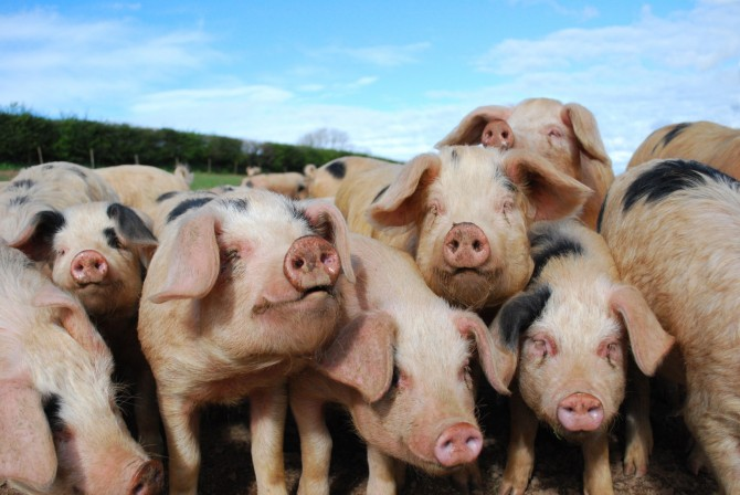 Back From Death Reanimation - pigs