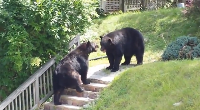 Bears Fight Back Yard