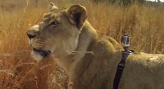 Go Pro Lioness