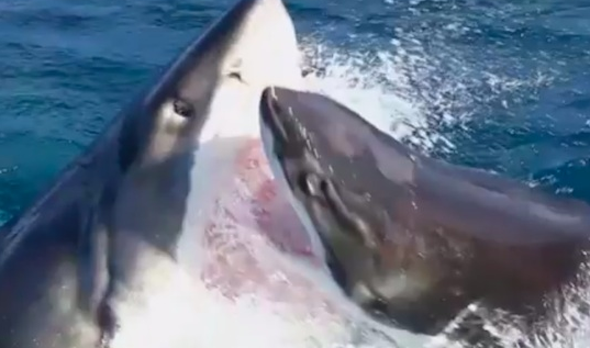 Great White Shark Vs Great White Shark