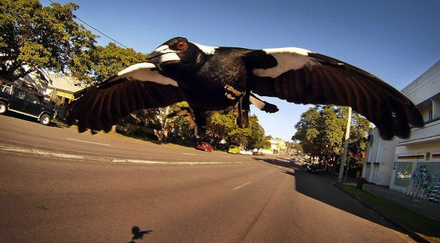 Magpie Swooping Season