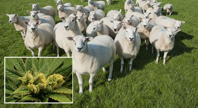 Sheep high on Weed