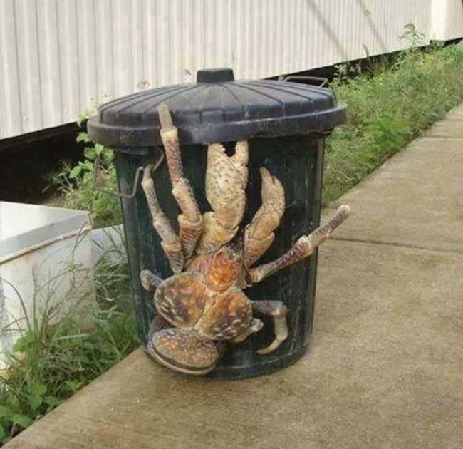 Coconut Crab 2