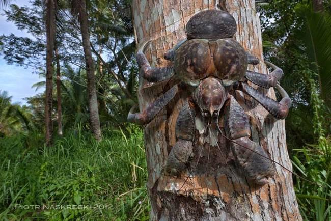 Coconut Crab 4