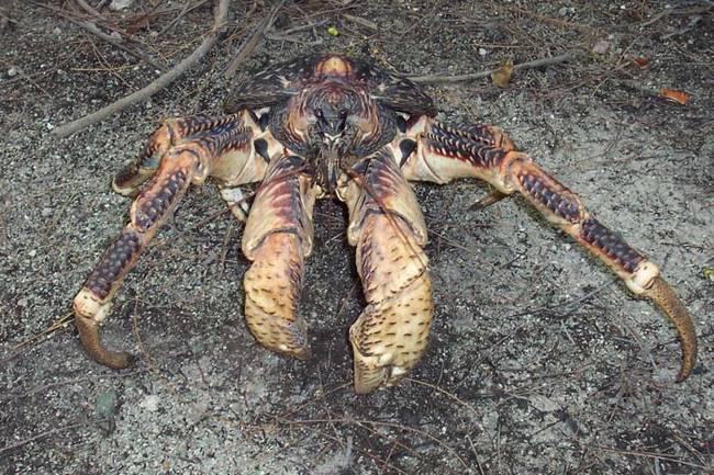 Coconut Crab 7