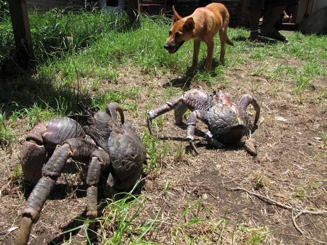 Coconut Crab 8