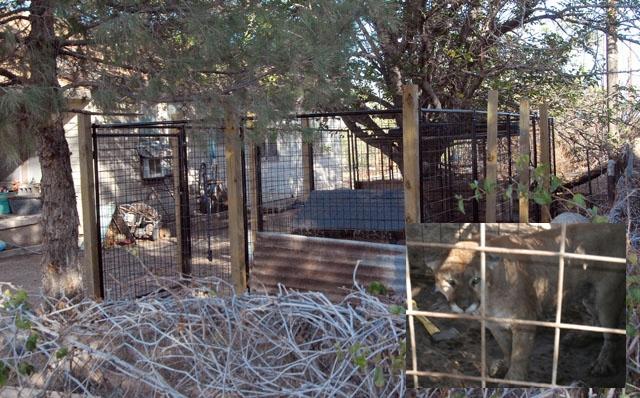 Exotic Pet - Mountain Lion Maul comp