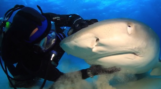 Diver Tiger Shark Orgasm