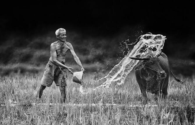 Herman Damar Indonesia - cow wash]