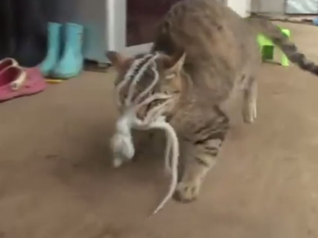 here�s what happens when a cat tries to eat a live octopus