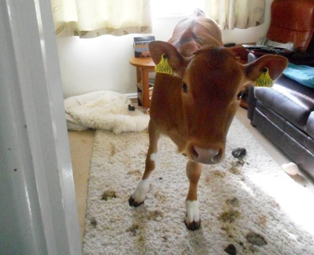 Cow House Poo
