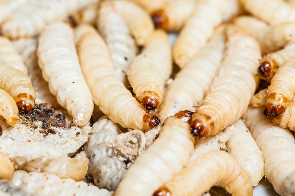 maggots eating flesh - photo #3