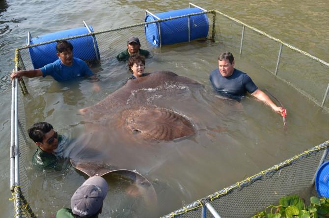 Monster StingRay Thailand - caught 2