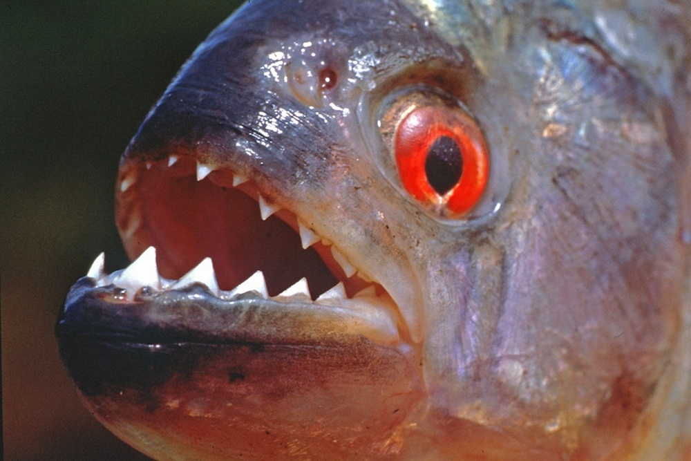 Piranha attacks are even more terrifying than you thought for Pictures of piranha fish