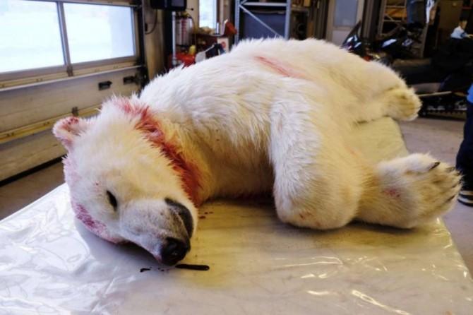 Polar Bear Corpse
