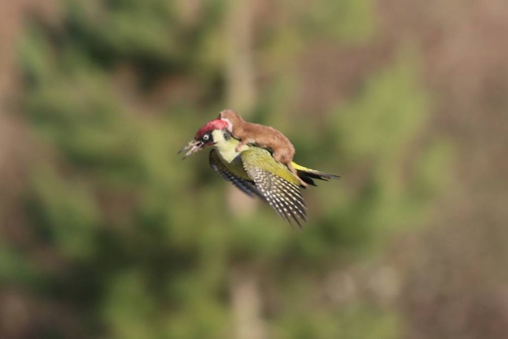 Weasel Flying Back Woodpecker