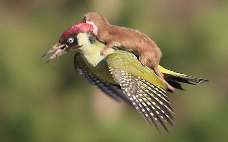 Weasel Riding Woodpecker 3