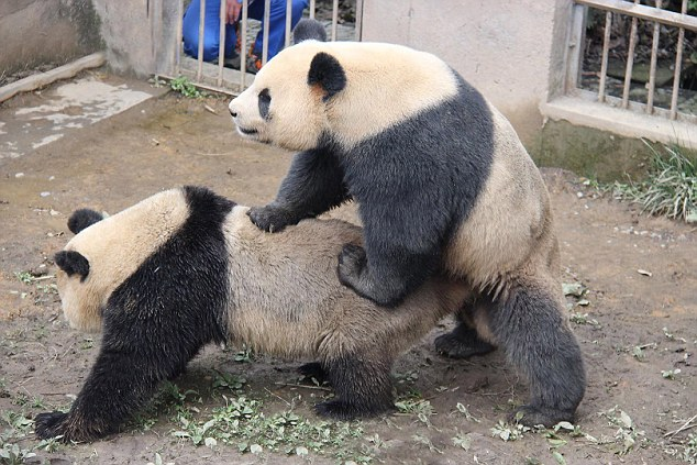 Horny Pandas Set Record With Marathon Sex Session
