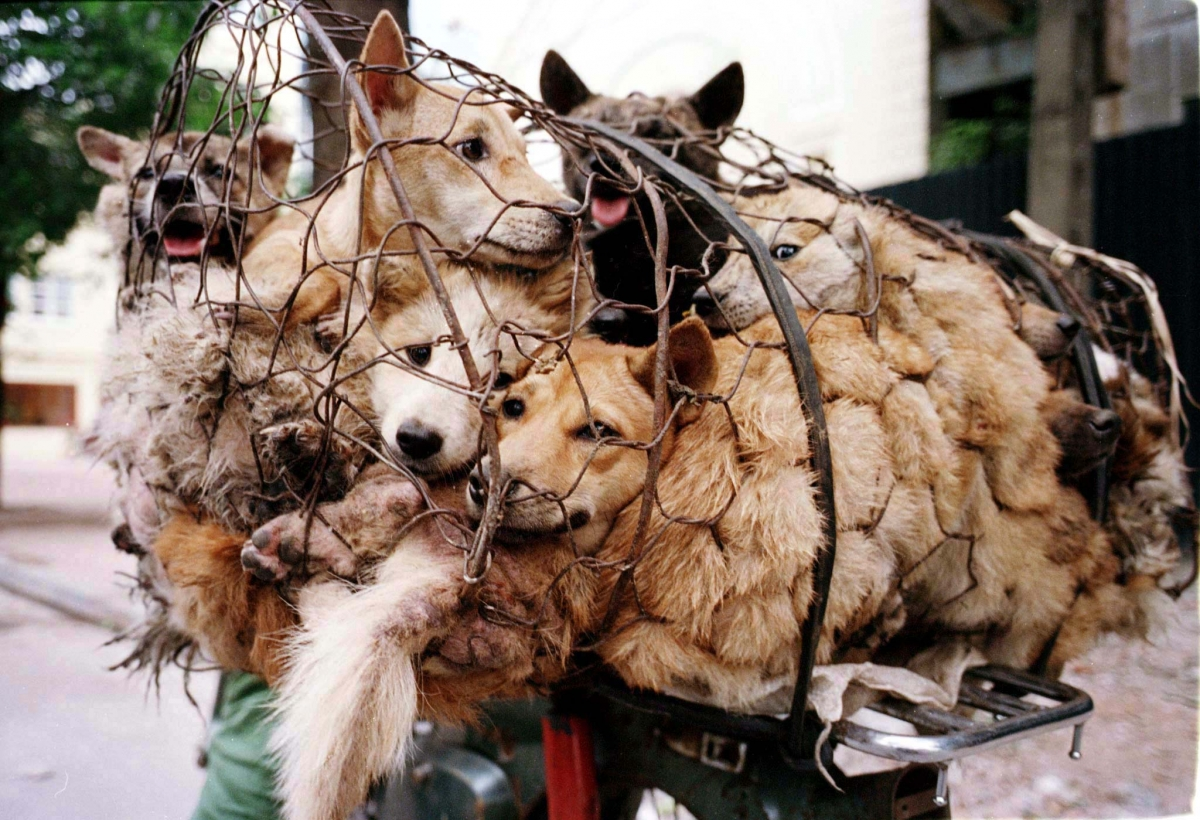 Weird China Fact - Dog Meat Festival