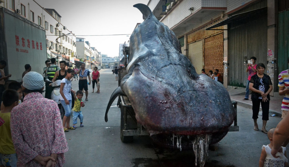 Whale Shark Chinese Streets Huge Beast