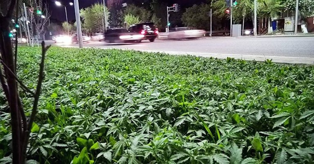 Weed Planted City Centre