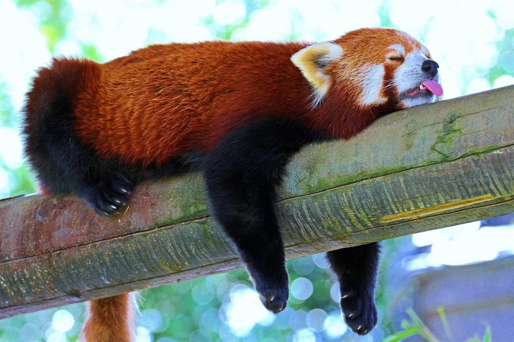 Amazing Sleep Experiments - Red Panda