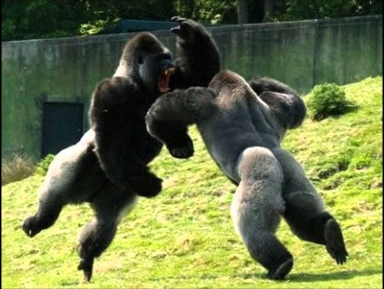Смотреть пенис гориллы 13 фотография