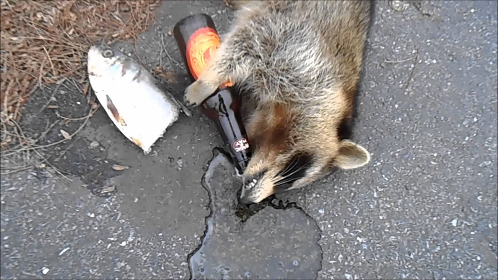 Viral video sick chirpse for Do raccoons eat fish