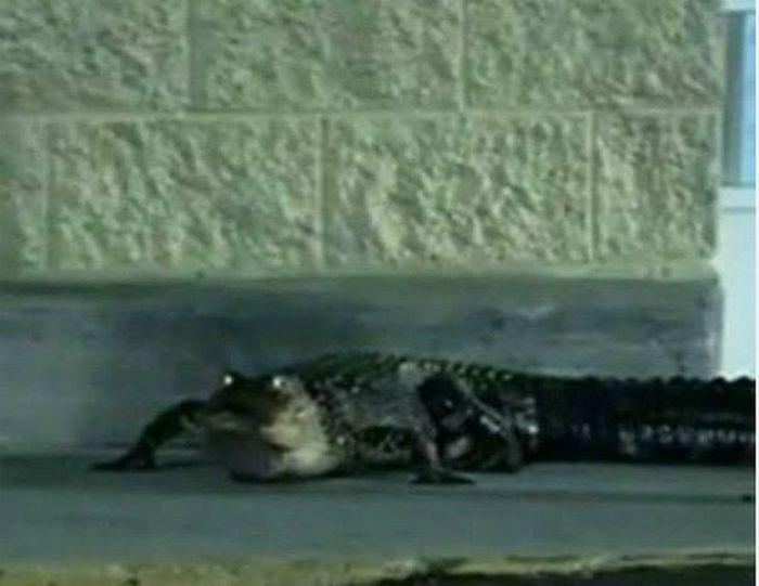 Georgia - Zoo Escaped Crocodile