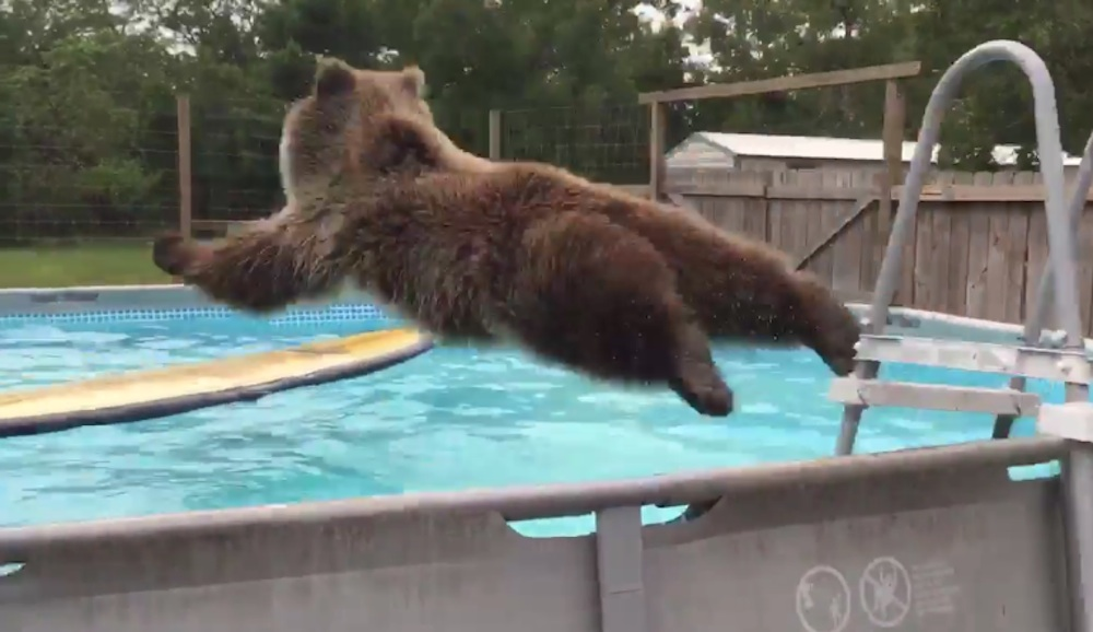 Grizzly Bear Belly Flopping Into Pool