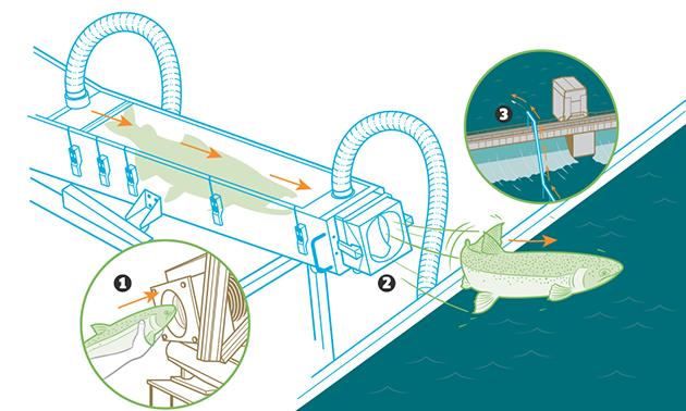Weird Animal Experiments - Salmon Cannon Diagram