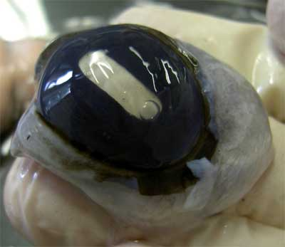 Cow Eyeball