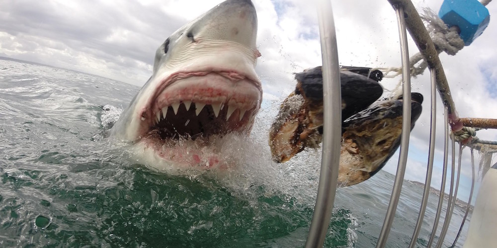 Check Out This Video Of The Biggest Great White Shark Ever Filmed – Sick Chirpse