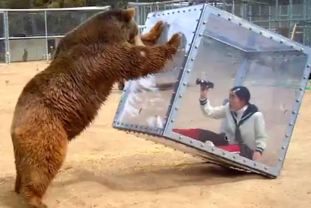 Japanese Game Show Bear Attacks Woman Glass Box